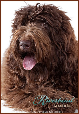 Home - Riverbend Labradoodles - Ohio Labradoodle Breeder