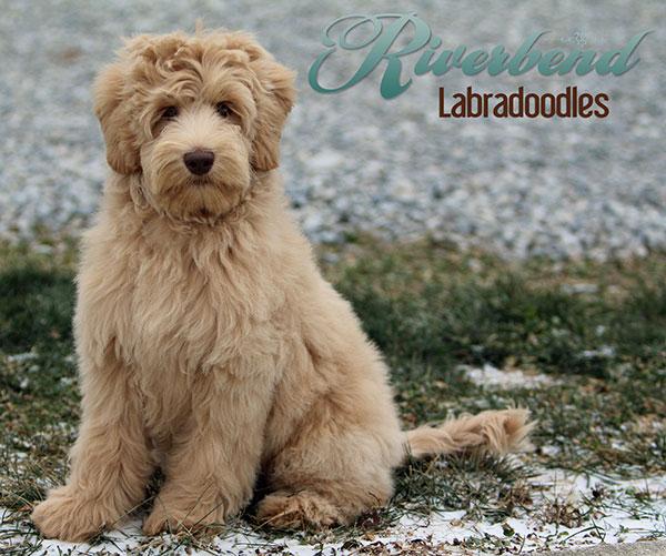 Breeding Stock - Riverbend Labradoodles - Ohio Labradoodle