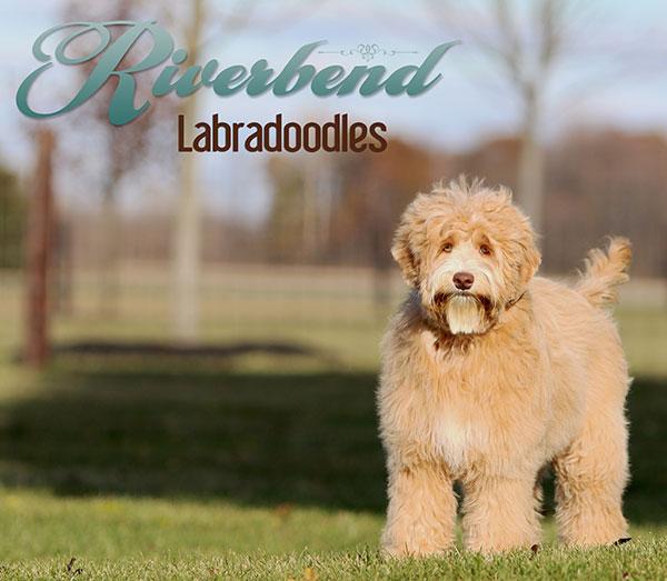 Breeding Stock Riverbend Labradoodles Ohio Labradoodle