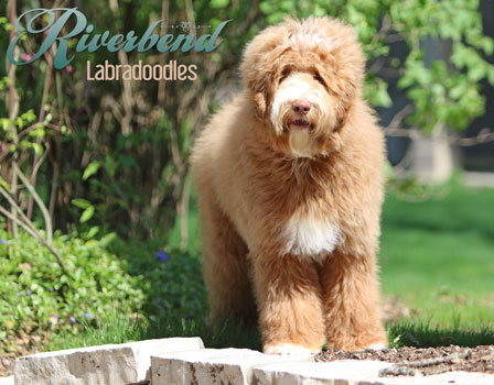 Puppies - Riverbend Labradoodles - Ohio Labradoodle Breeder
